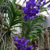Vanda »Magic Blue«