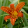 Hemerocallis_fulva_June_Wikipedia_I_Manfred-Heyde.jpg
